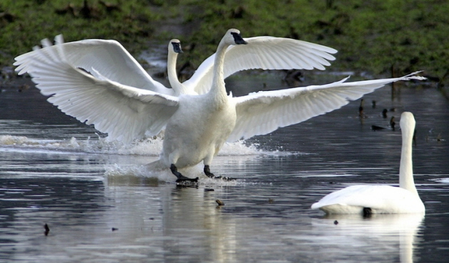 Trumpeter Swans, photo by Fr. Charles Brandt